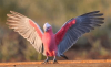 Galah with wings out.png